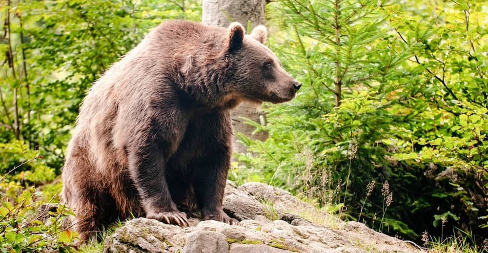 Large Brown Bear on top of rock in forest