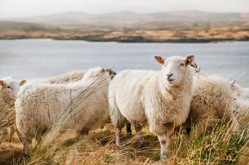 Sheep standing in long grass in the countryside